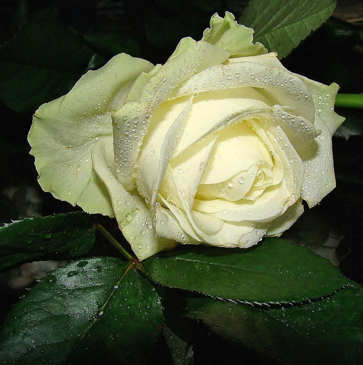 Открытка одна белая роза, поздравление днем