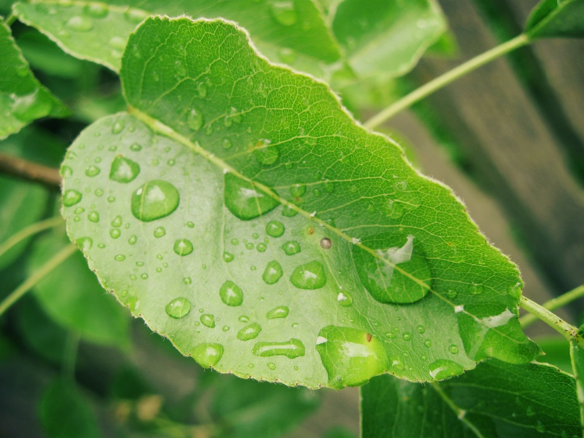 кто листья груши картинки счет удлиненной