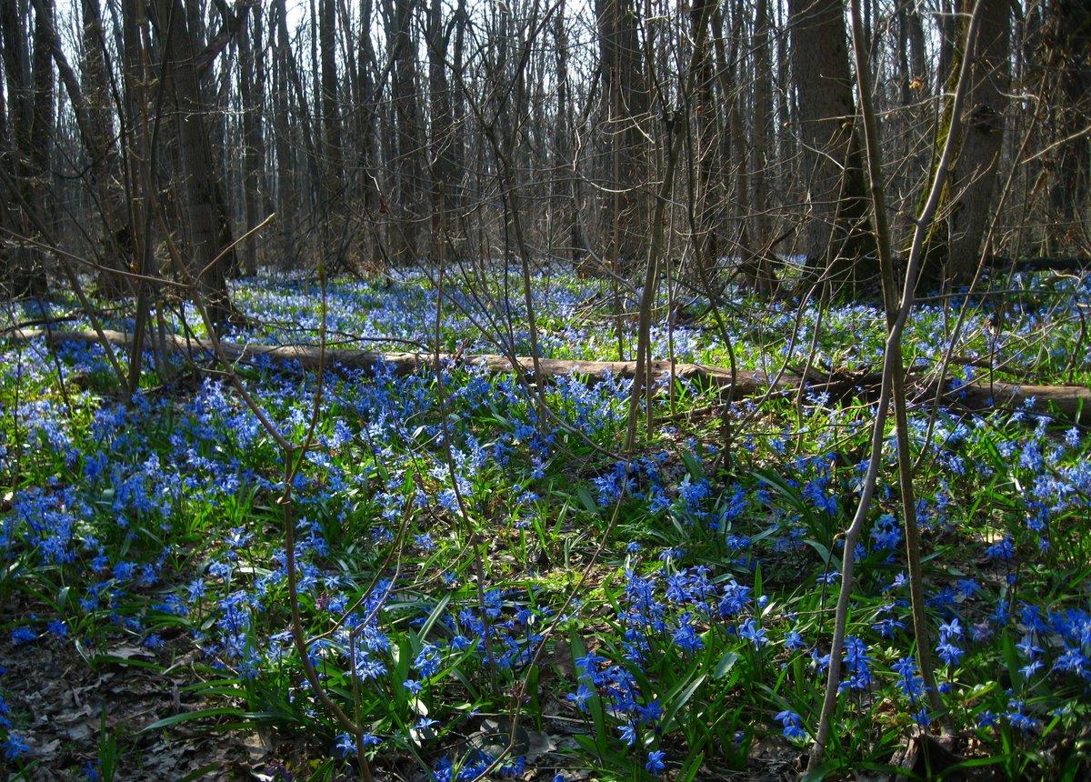 Картинки пролески цветы в лесу