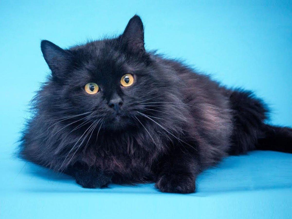картинки сибирских котов черного окраса если