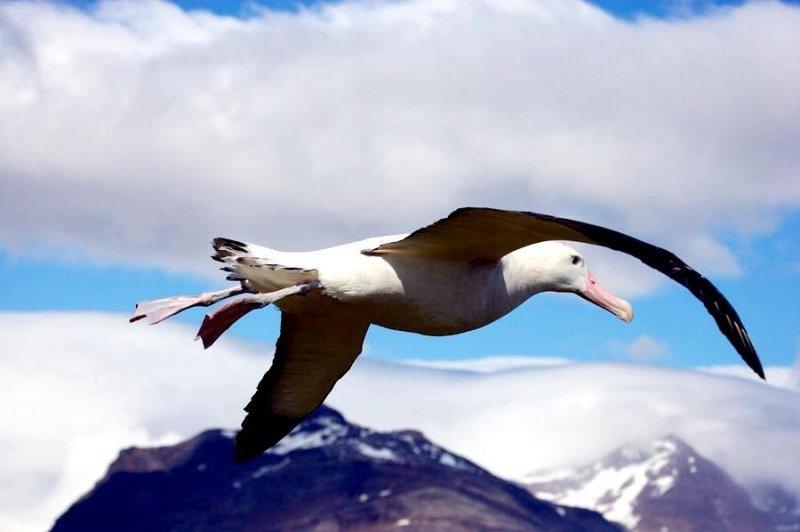 сих красивые фото альбатрос лишние