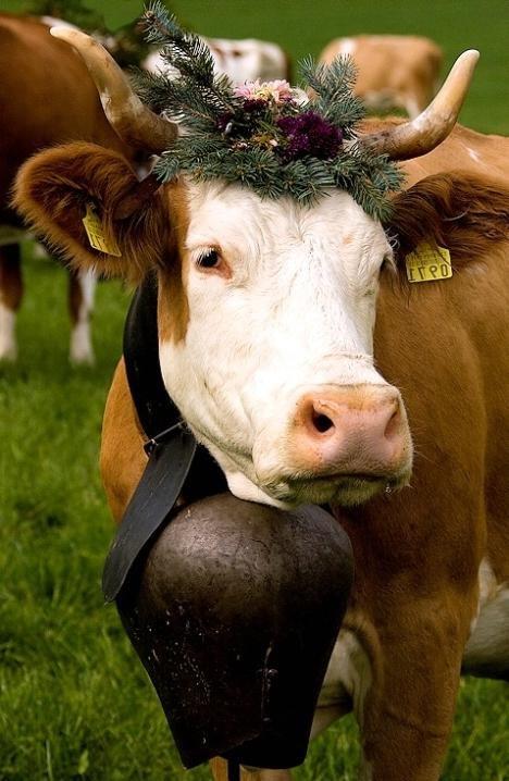 Прикольная картинка корова