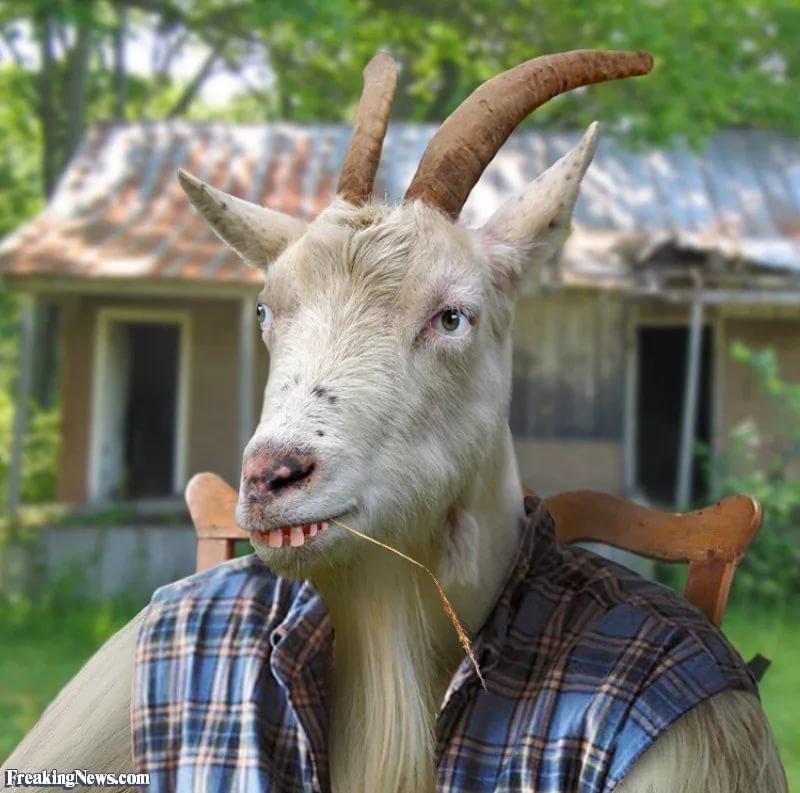 Открытки мальчику, козы прикольные в картинках