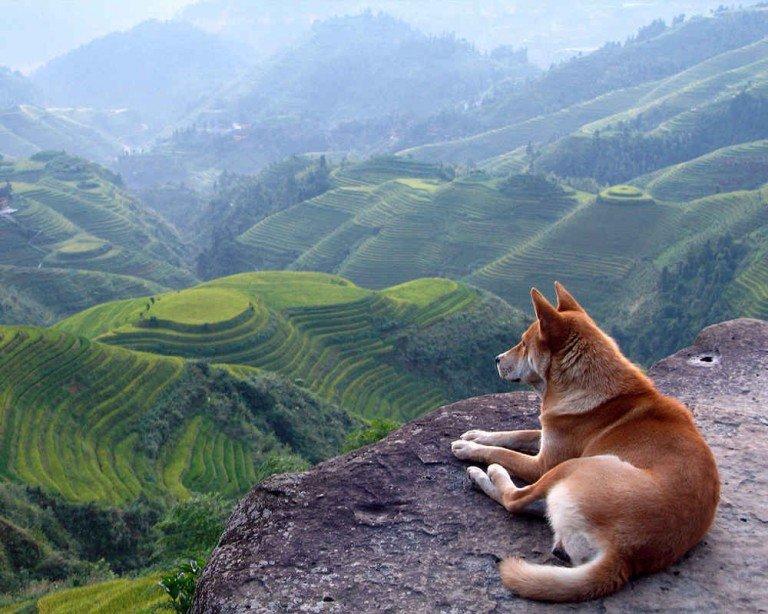 В Европу и Америку порода попала после Второй мировой войны. Европейцы начали на основе акита начали выводит свою разновидность – большую японскую собаку. Сейчас это отдельная порода,
