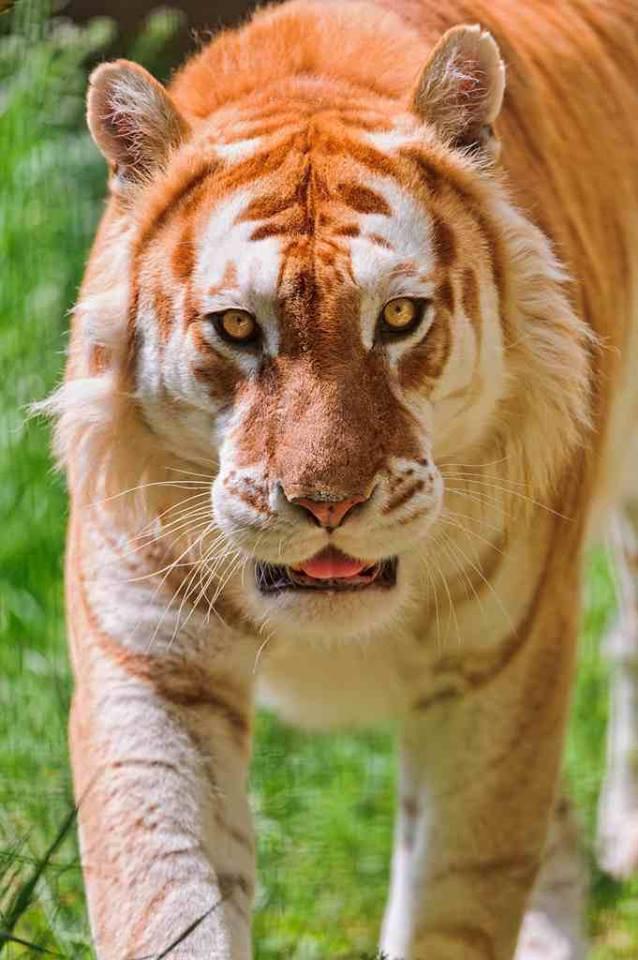Золотой тигр – самый редкий представитель альбиносов среди тигров.