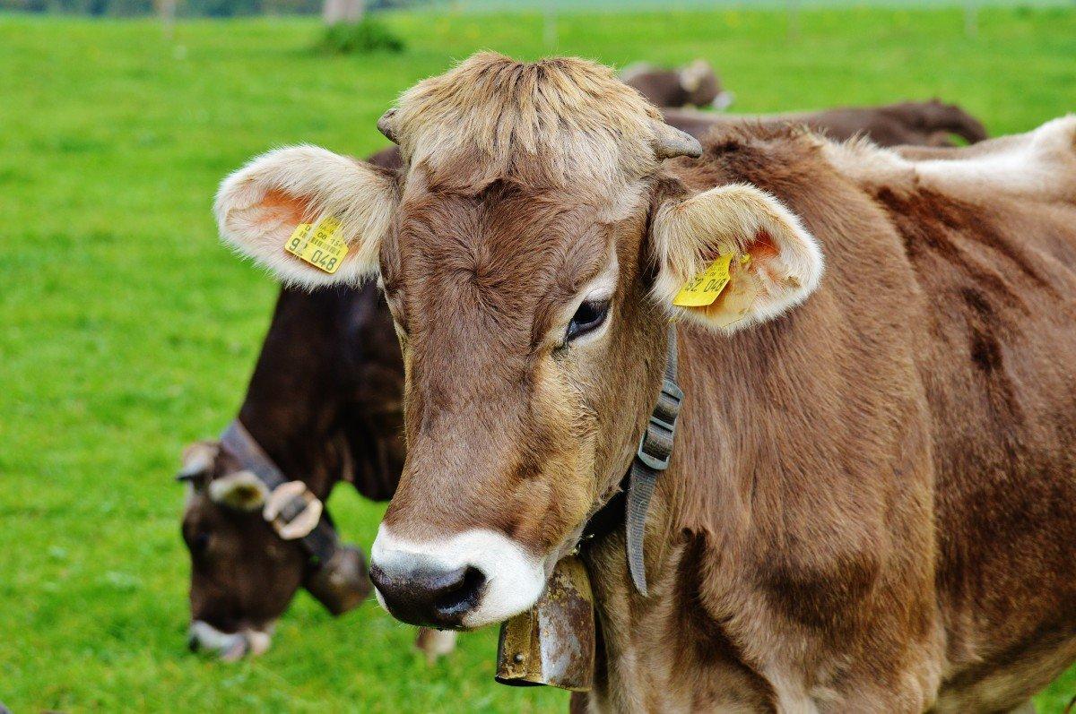 картинки коров для маленьких может быть