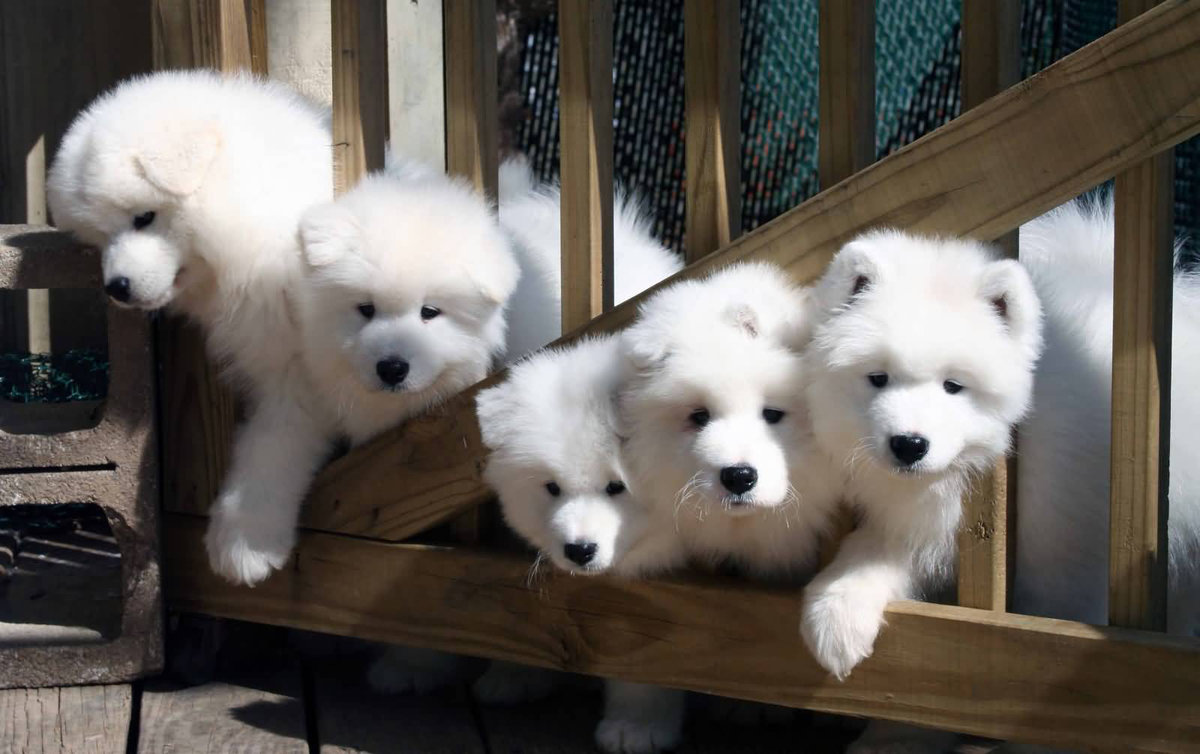 Картинки самоедских щенков