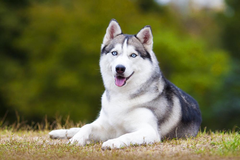 Смотреть картинки собака хаски
