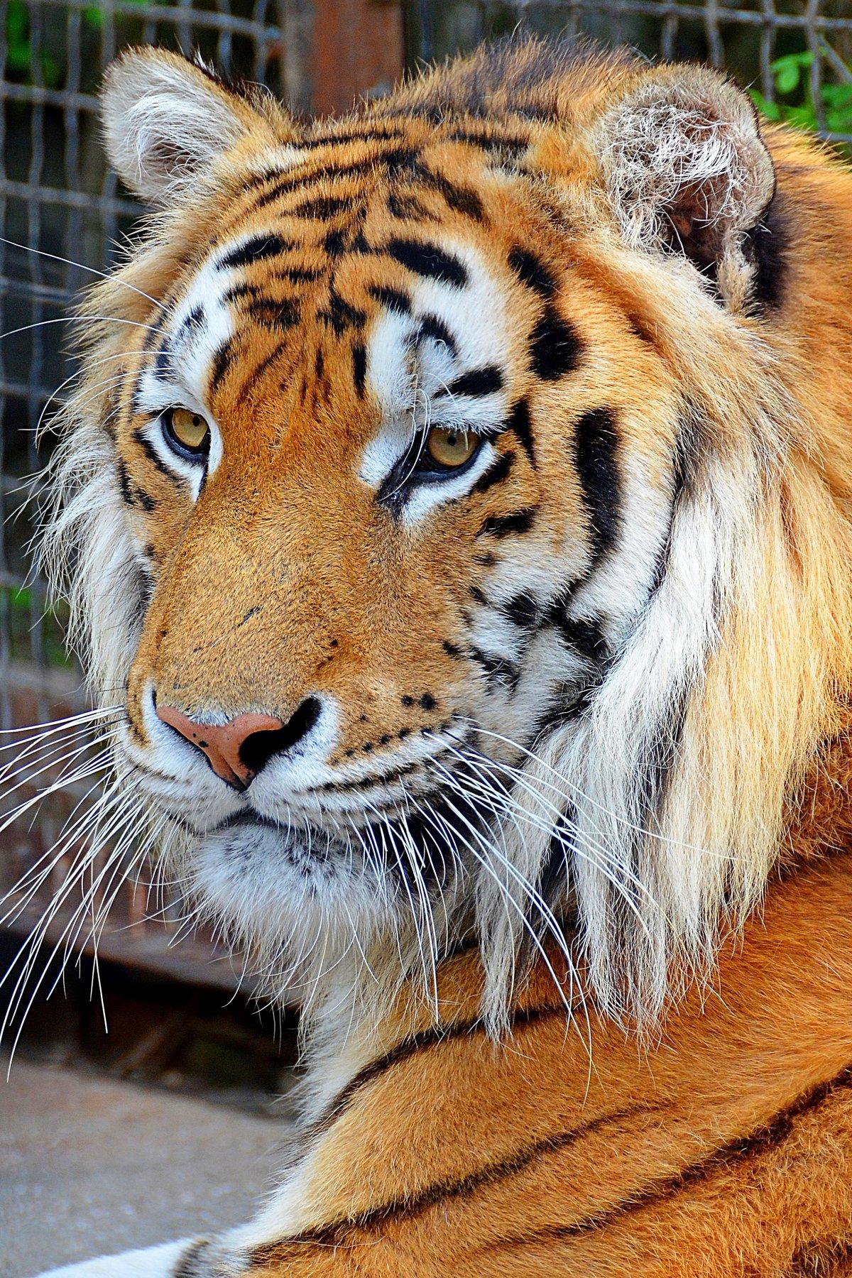 Полосатая грация#конкурс #тигр
