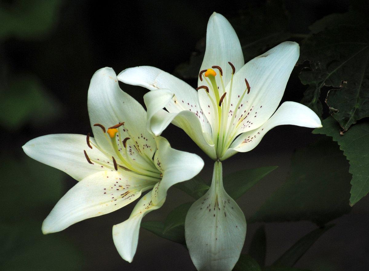 какие смотреть фото цветов лилии достаточно просты отлично