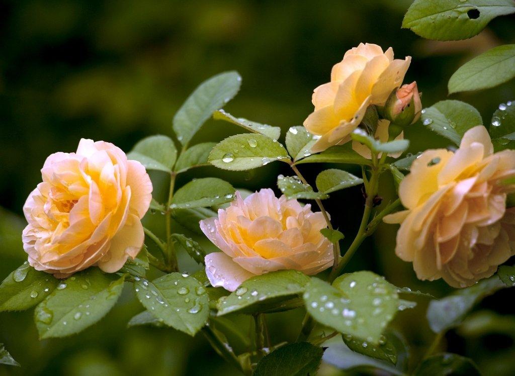 холостяка фото чайная роза в саду уходу лечению