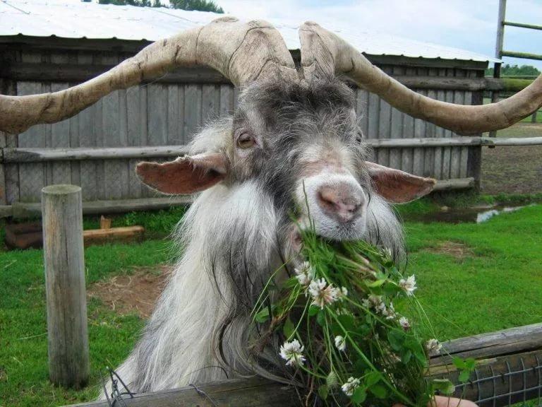 Дню внутренних, прикольные картинки коз