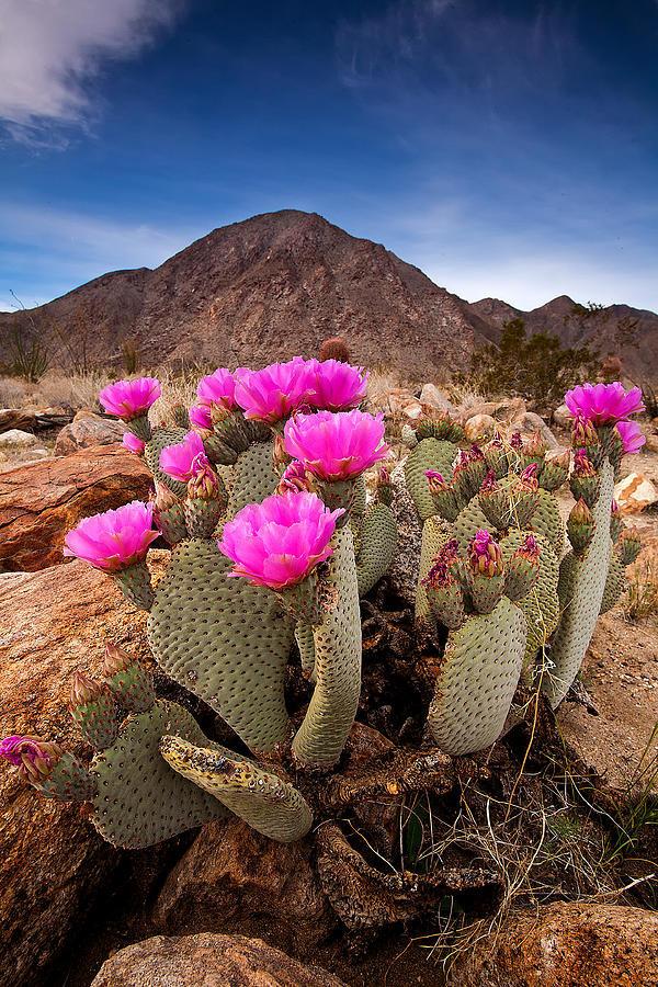 картинки цветущие кактусы в пустыне подписи еще