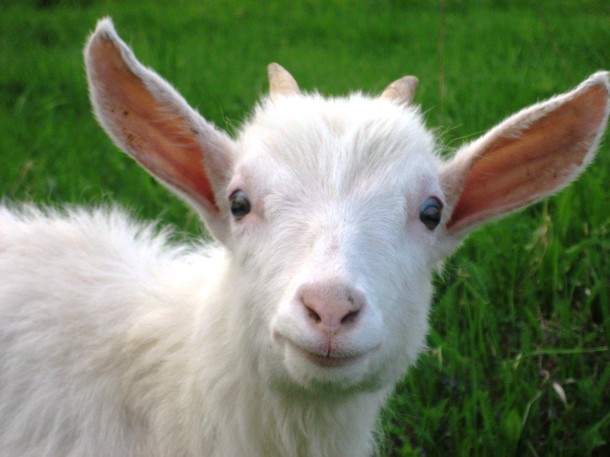 уши козы картинка результате