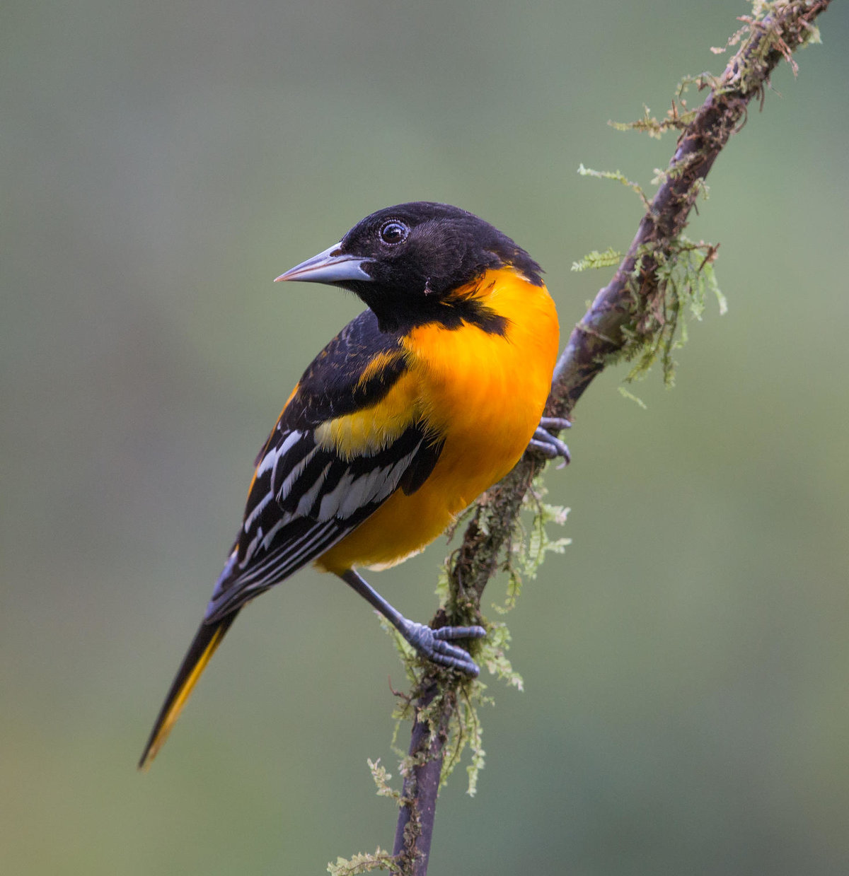 Картинки с птицей иволга
