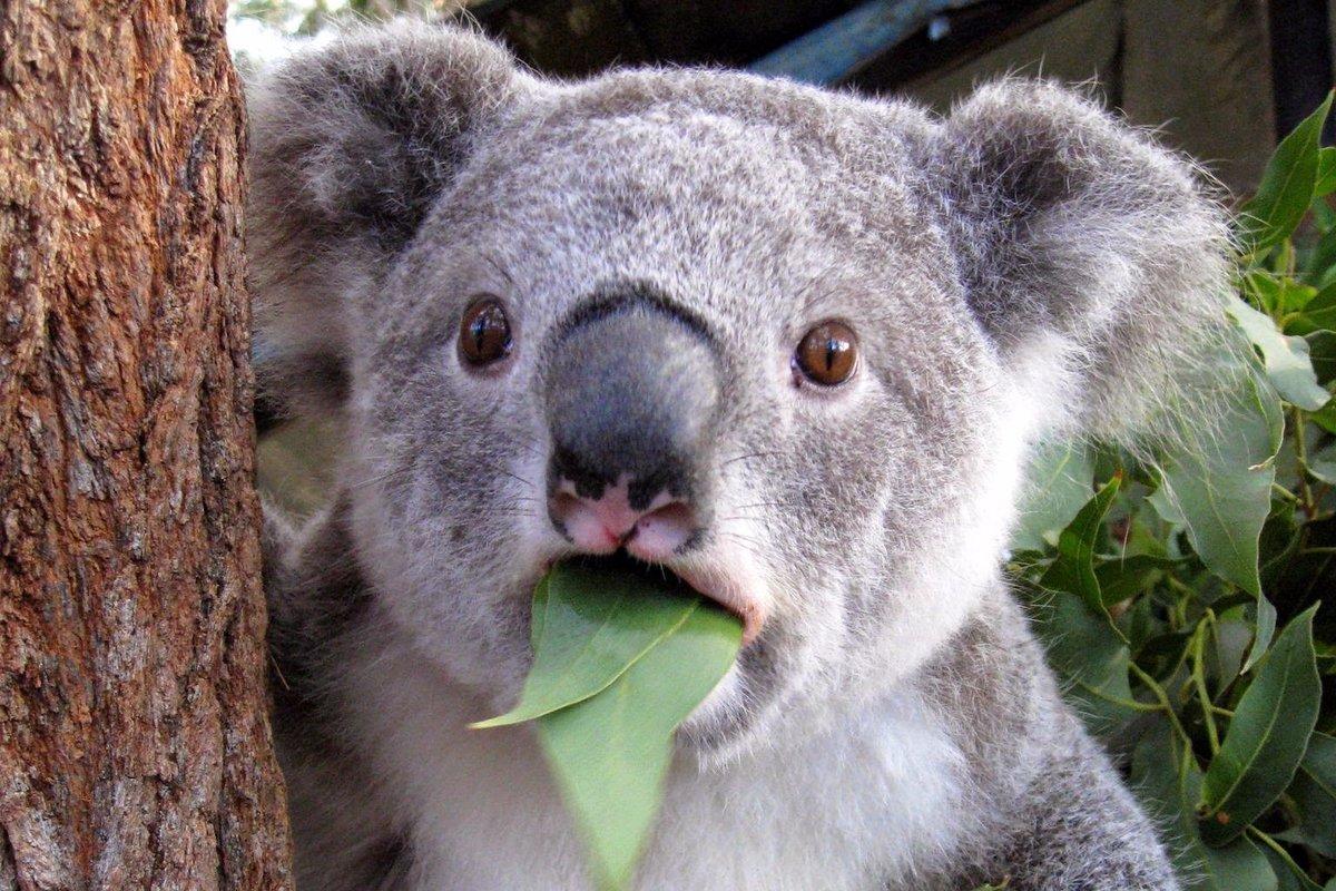 Днем рождения, картинки с коалой смешные