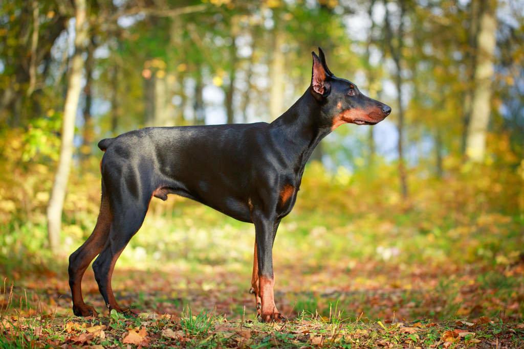 после доберман фото собаки описание легенды