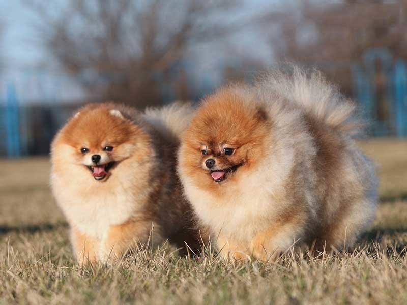 Шпиц померанский карликовый - популярная порода собак, привлекающая к себе внимание ярким внешним видом и уверенным поведением.