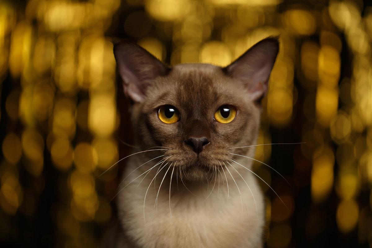 История бурманской породы кошекÐти кошки из Юго-Восточной Азии.