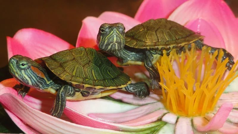 Маленькие красноухие черепахи картинки