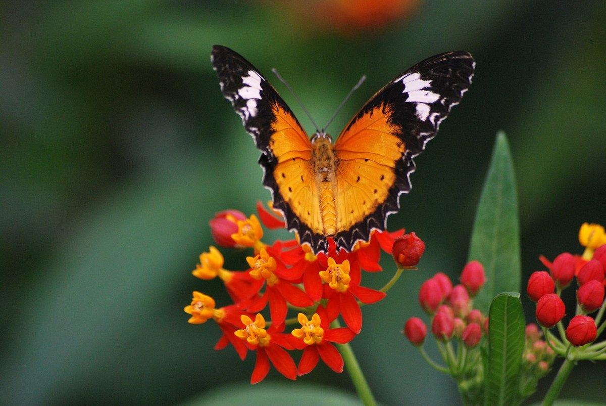 Открытка живые бабочки, надписями целую самая