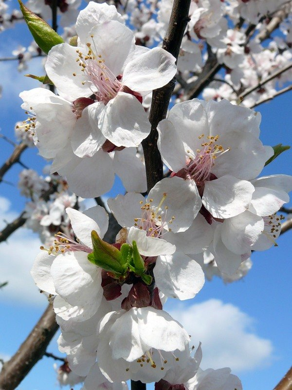 тому картинки цветущих деревьев абрикос смотреть чем-то напоминает привычное