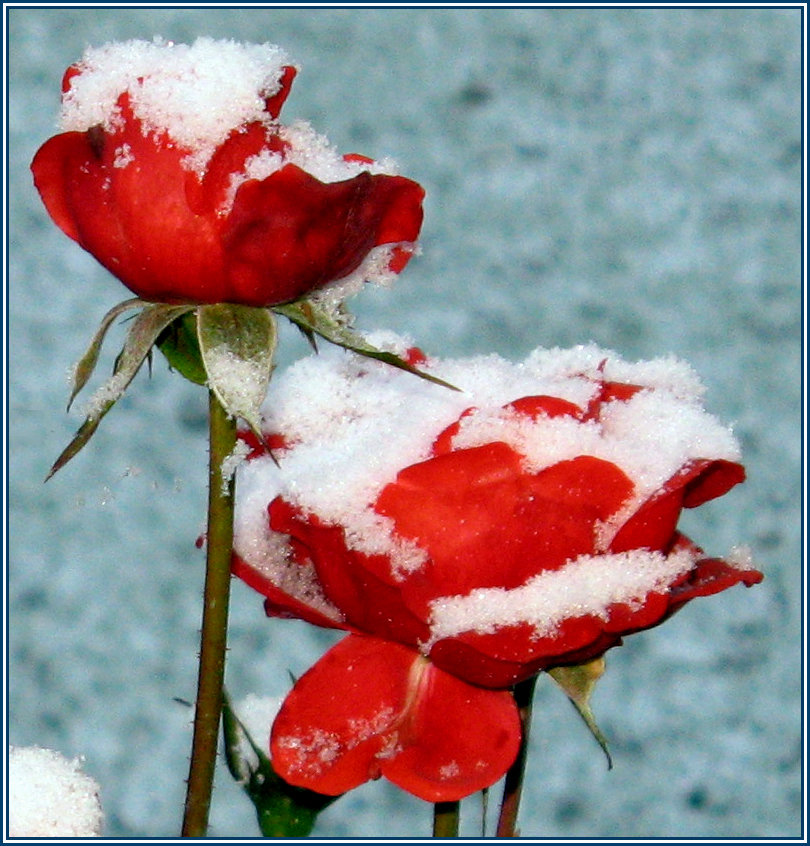 Всем, открытка снег на розах
