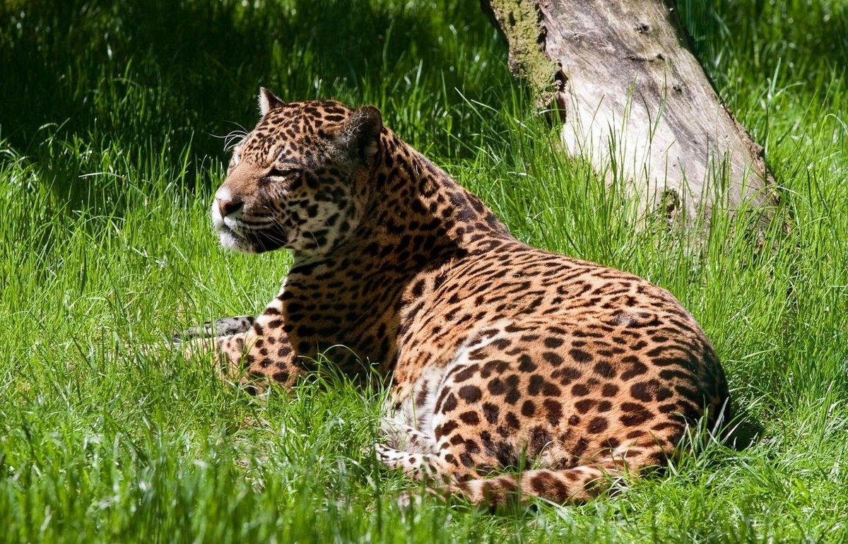 временем фотографии ягуара в природе снимке среди
