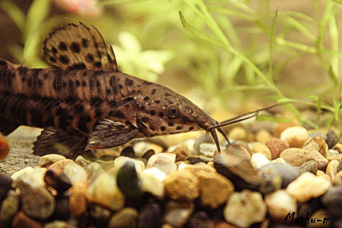 Аквариумные рыбки сомик картинки
