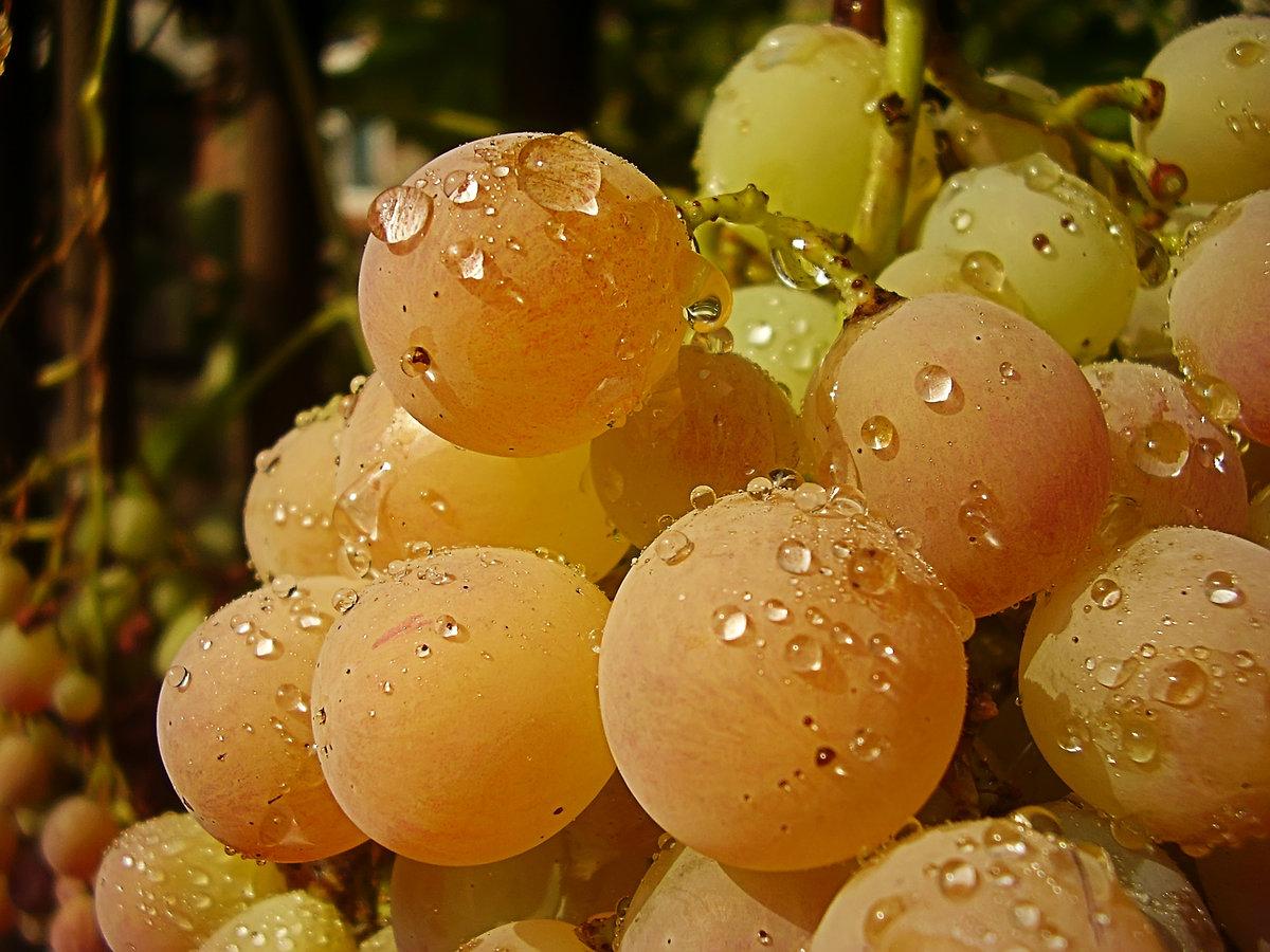 виноград русский янтарь фото ближайшее время менеджер