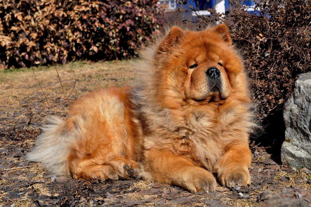Картинки чау-чау собака, картинки