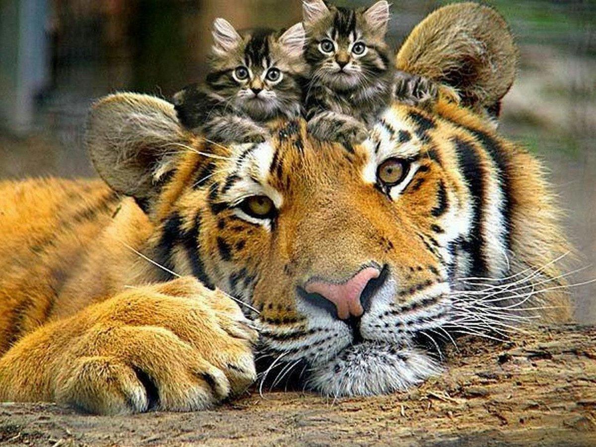 Тигр и котята - лучшие друзья. Обои на телефон.