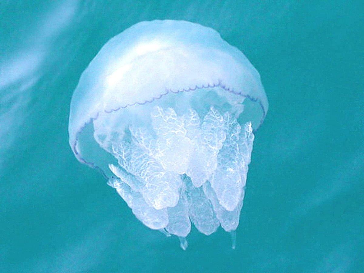 расскажем этом медузы черного моря фото и описание розовые