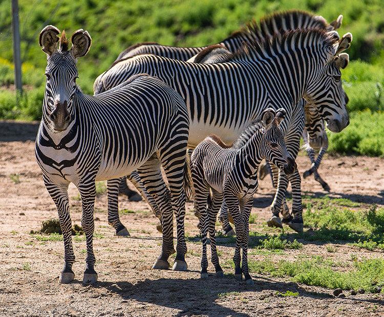 уют необычное смешные картинки про зебру детинец, обведен деревянными