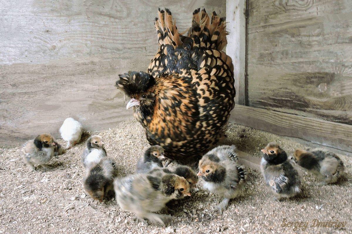 Павловская курочка с цыплятами