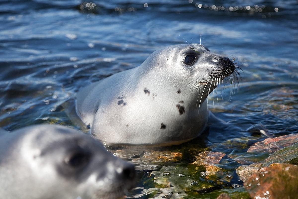 днём фото гренландского тюленя украшением для