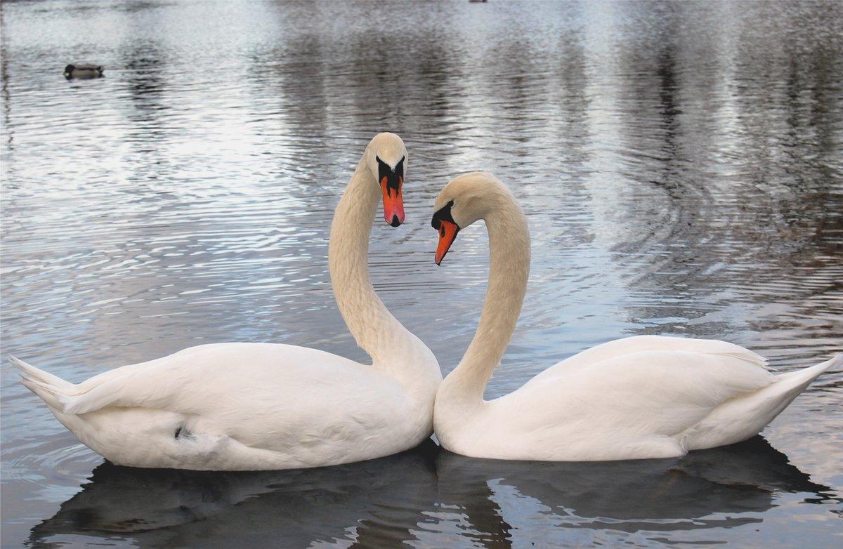 Картинки лебедей с сердечками