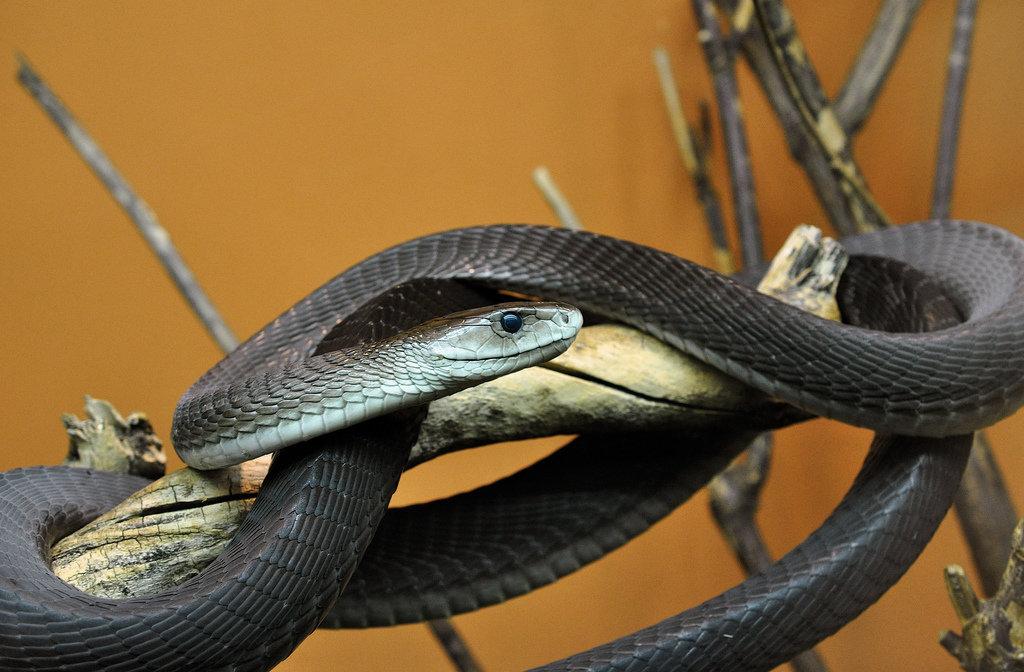 black mamba longest