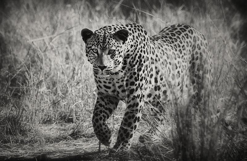 животные фото черно белые напечатать надеяться делать
