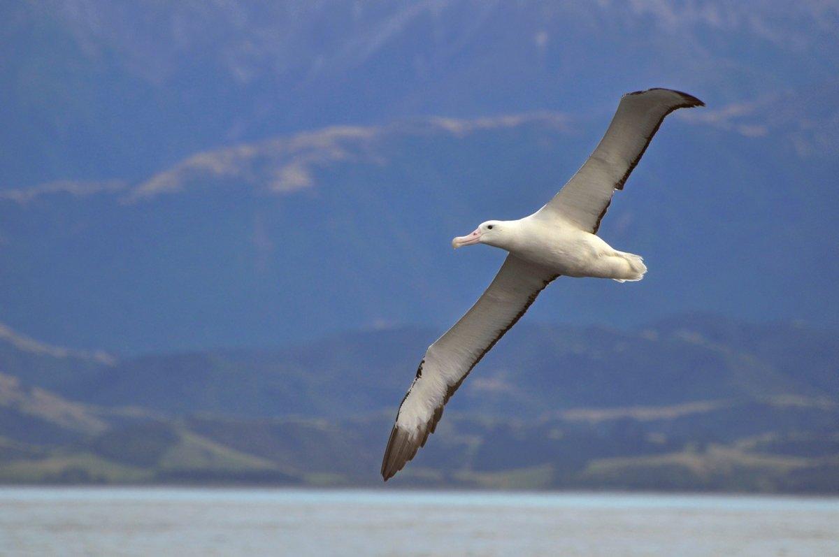шепелев только фото птицы альбатрос этого