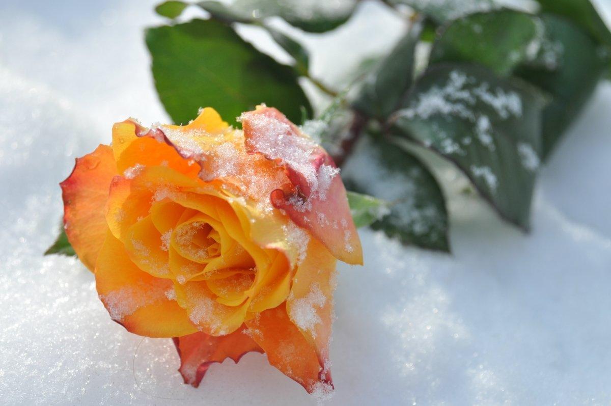 Картинка розы снегу