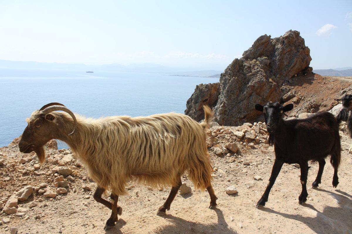 вот картинки греция козы есть кого