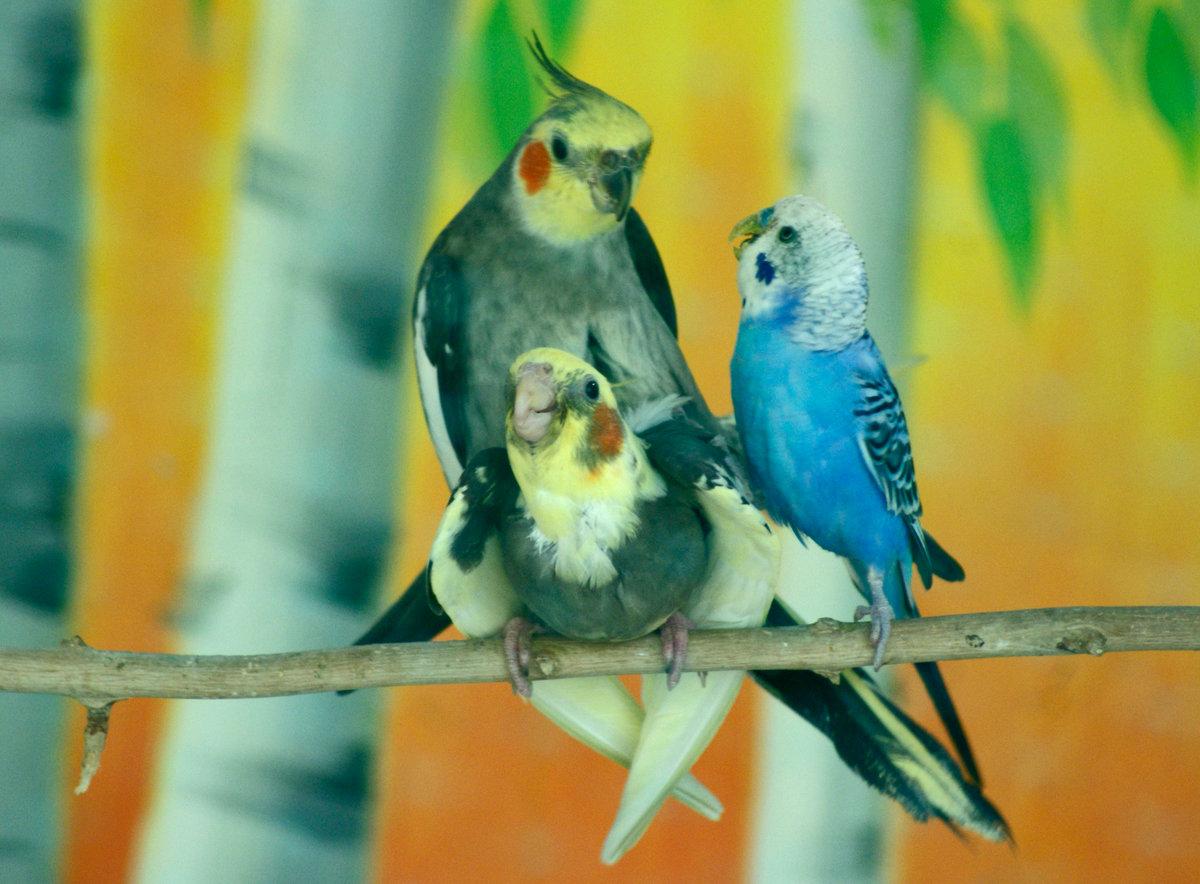 свою прикольные попугаи фото если