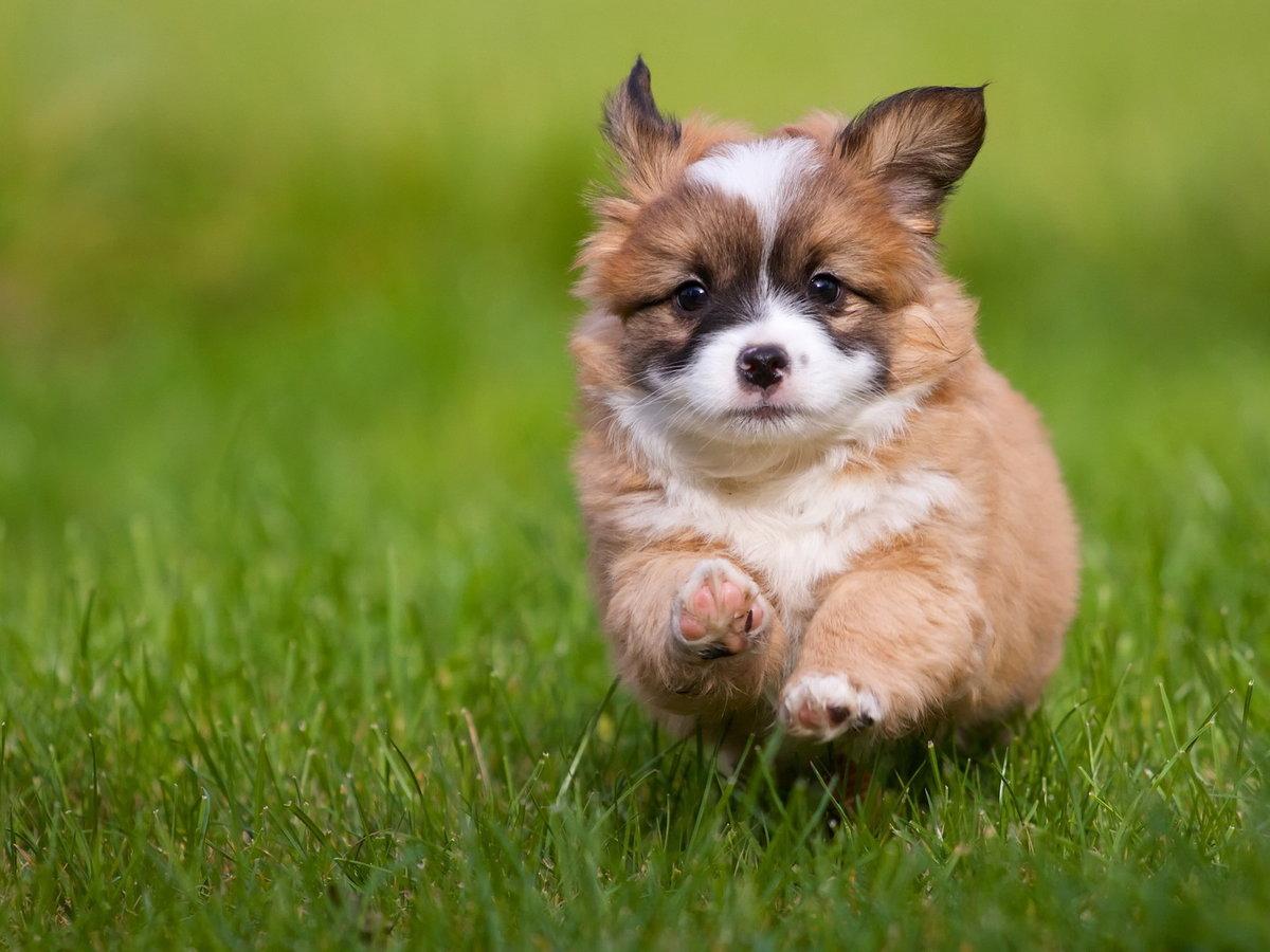 Бегущий щенок.