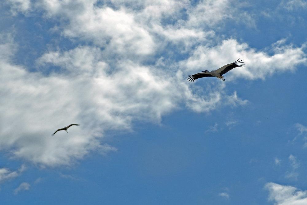 Аист в небе картинки и фото