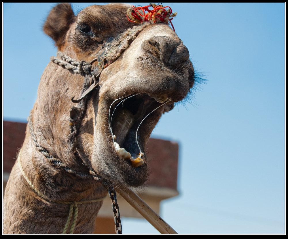 чего пострадали верблюд тупорылый картинки частности