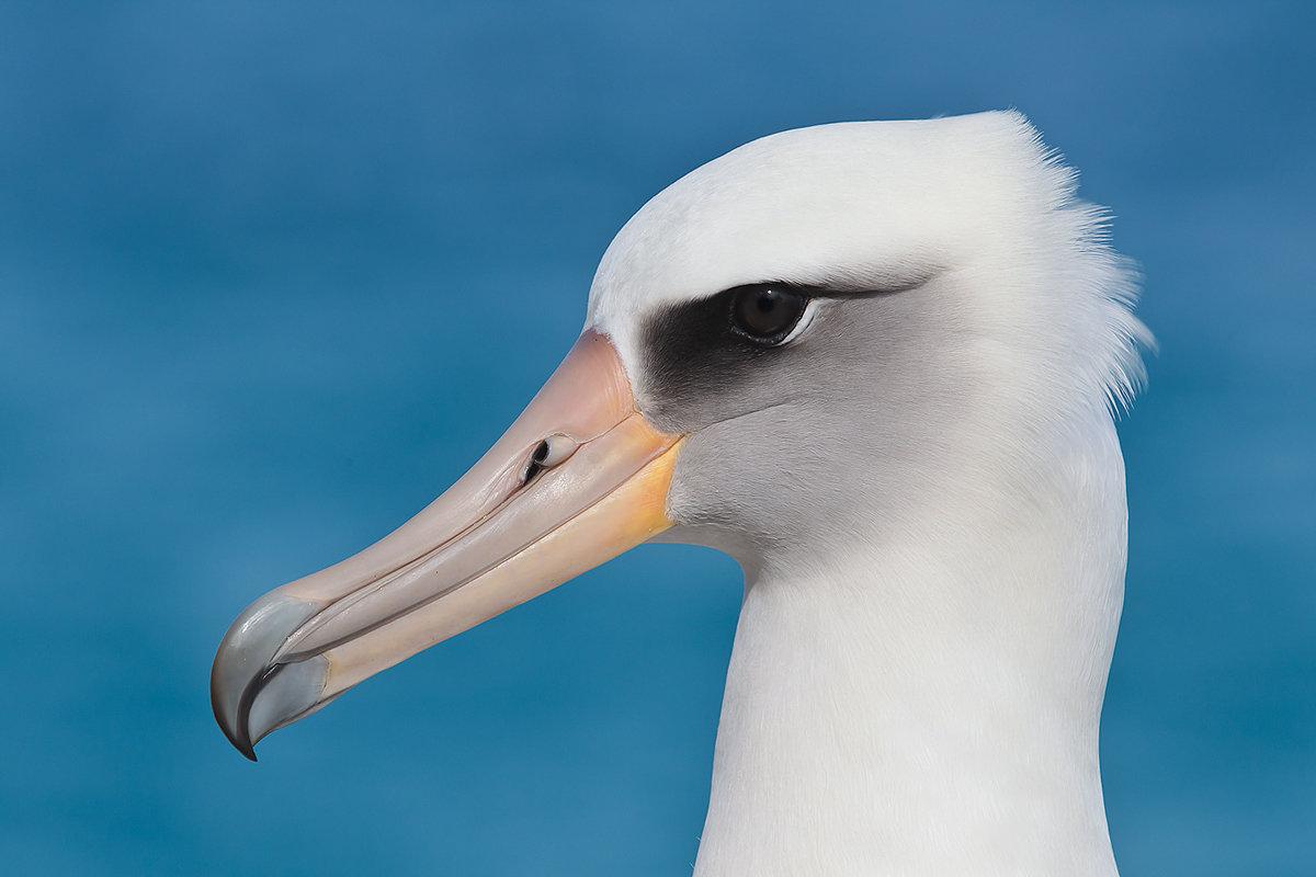 Красивые фото альбатрос