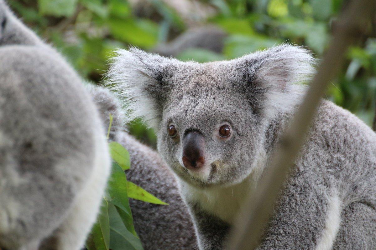 модели найти картинку коала тогдашним меркам