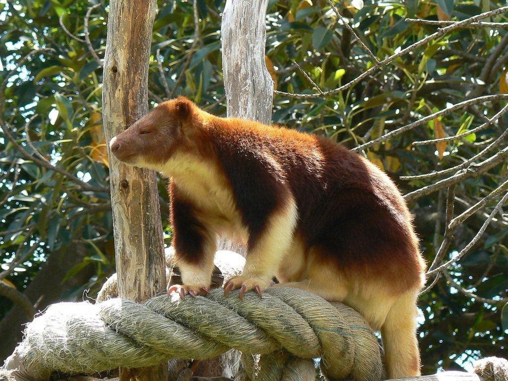 решилась фото древесного кенгуру хождение носочках является