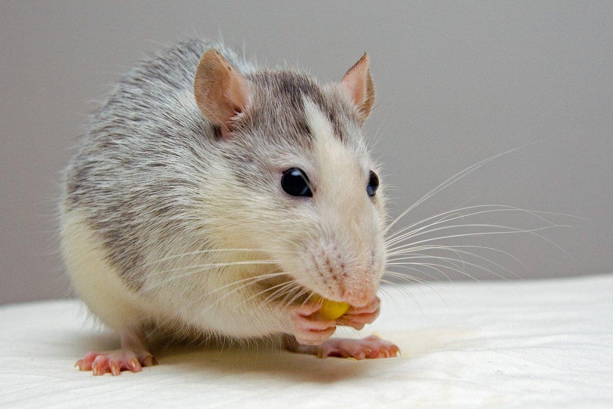 Картинки крыса